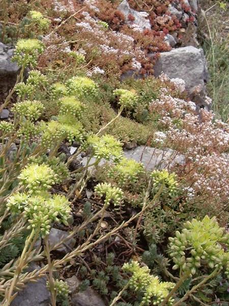 succulente-espece-dorpin-a-villeperdrix